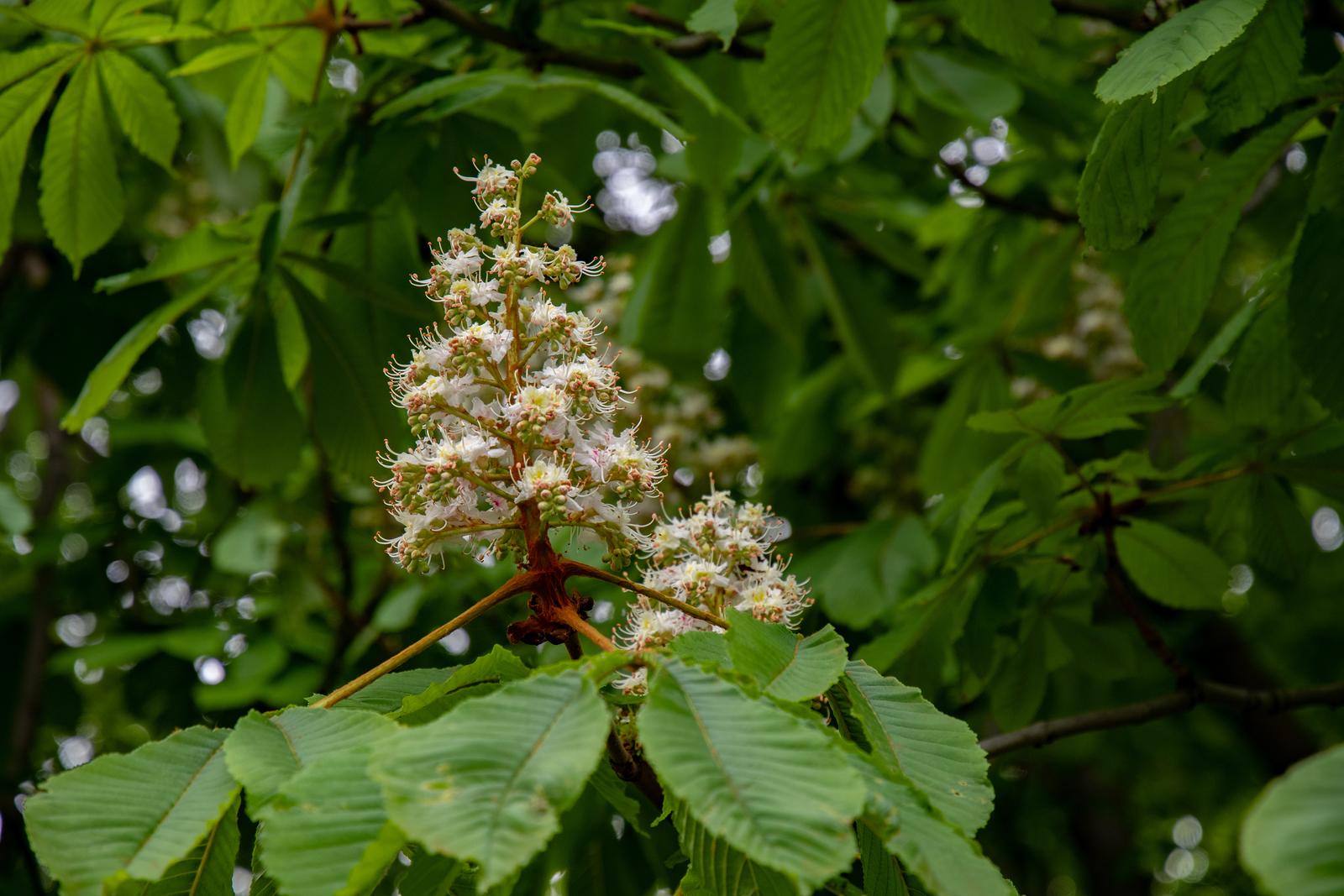 Pyramid shape white blossoms of chestnut