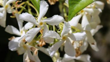 Trachelospermum Jasminoides, Common Names Include Confederate Jasmine