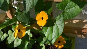 Thunbergia Black-eyed susan vine