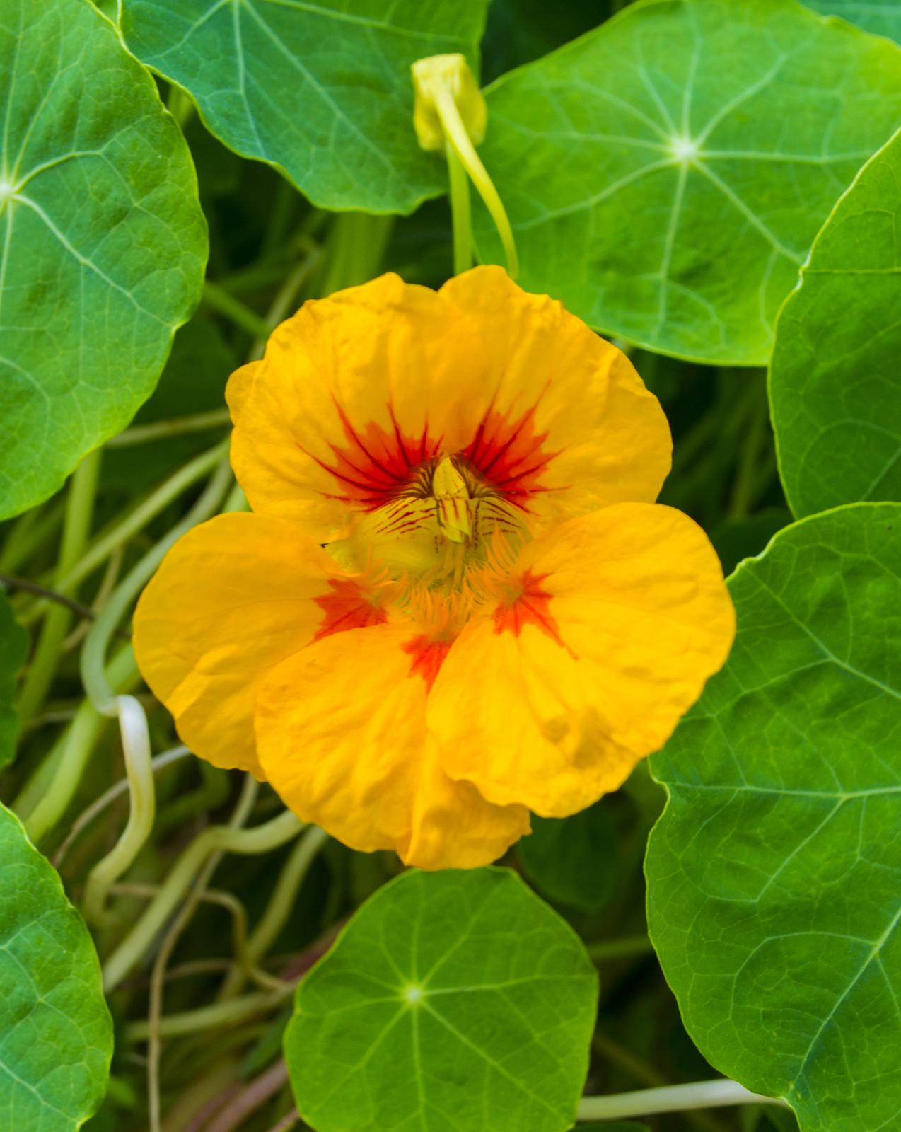 Nasturtium Tropaeolum