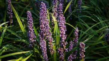 Liriope Blue Lilyturf