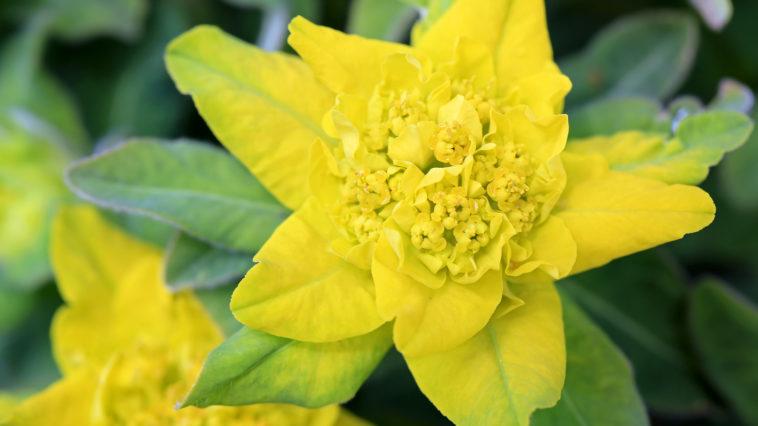 Euphorbia cushion spurge