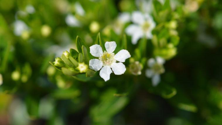 False heather flower - Latin name - Cuphea hyssopifolia