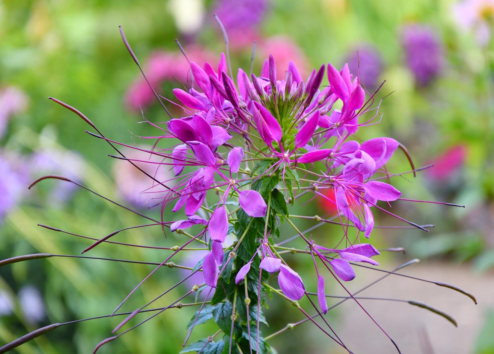 Spider flower Cleome