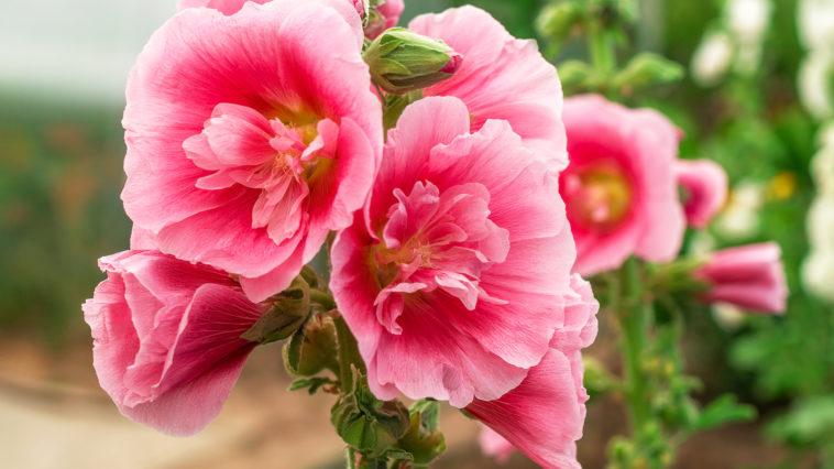 Alcea Rosea or hollyhock, or malva. A double form in pink.