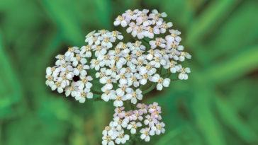 Yarrow Achillea flower