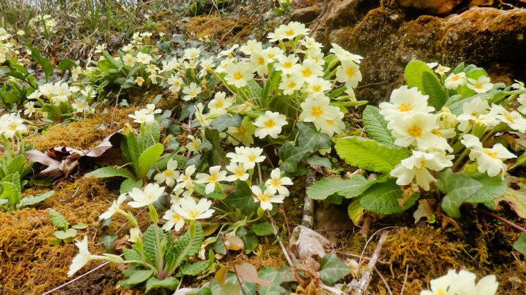 Primrose vulgaris