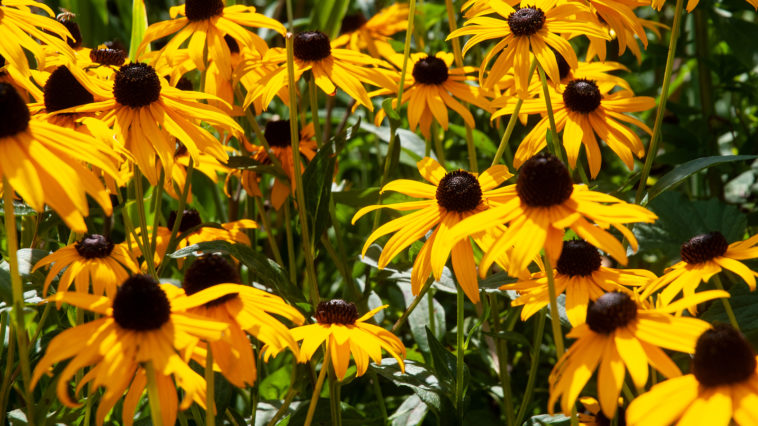 Rudbeckia in autumn