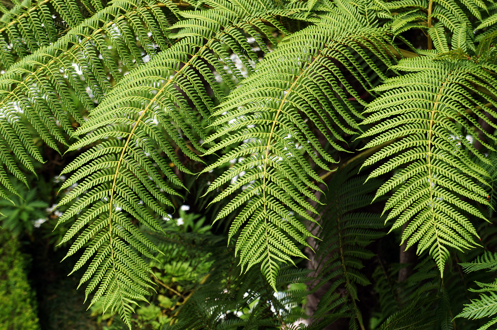 Hay-scented fern,