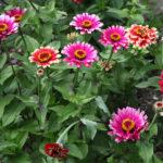 Zinnias in summer garden