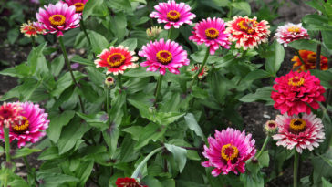 Zinnias in summer garden