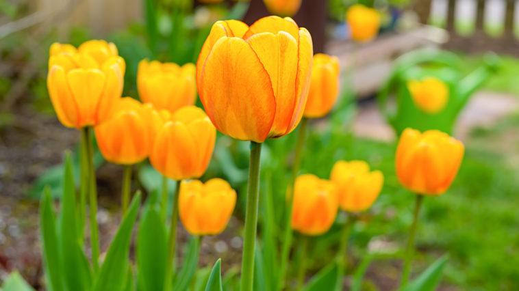 Tulips in garden