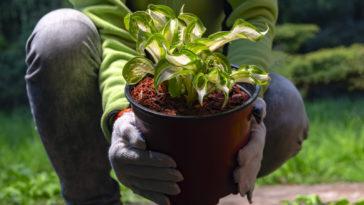 Perennial hosta planting