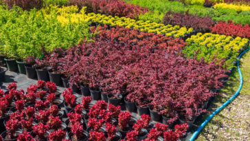 Shrubs at garden center