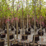 Young trees in the garden shop, plants in pots