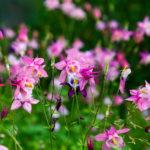 Coumbine flowers
