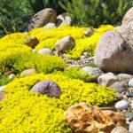 Sedum rock garden