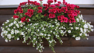 Pelargoniums and bacopa