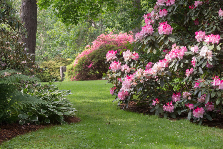Rhododendrons in a shade garde