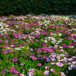 African daisy groundcover