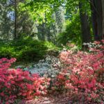 Azaleas and rhododendrons in a flowering shrub border