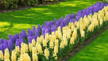 Yellow and purple hyacinths
