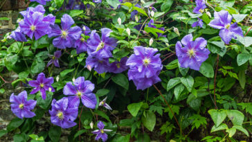 Clematis on a trellis