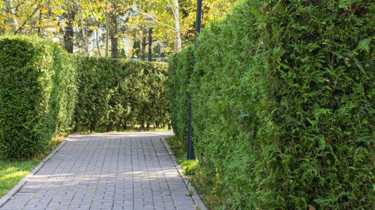 Thuja hedge along a path