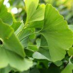 Ginko tree leaves