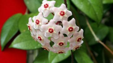 Wax plant, Hoya