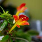 Columnea bloom
