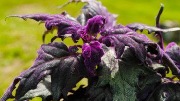 Gynura, Purple Passion Plant