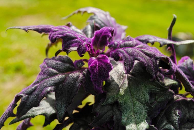 Gynura, Purple Passion Plant