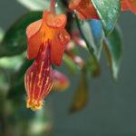Nematanthus flower