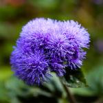Floss flower, Ageratum