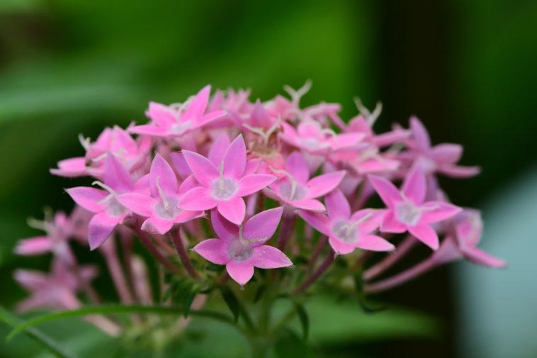 Pentas flower cluster