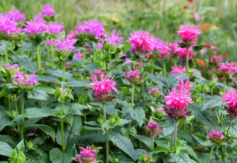 Bee balm in garden