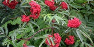 Red sambucus