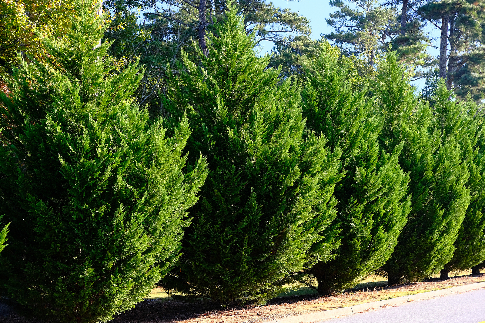 Leyland Cypress trees in a row