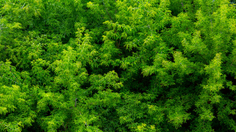 Green ash trees