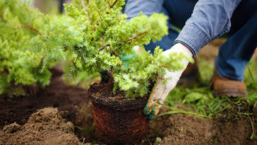 Planting evergreen shrub
