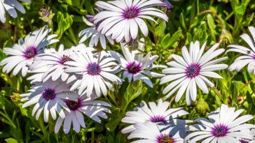 Freeway daisy, Osteospermum