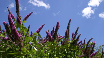 Butterfly bush, Buddleia