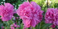 Scented pink peonies