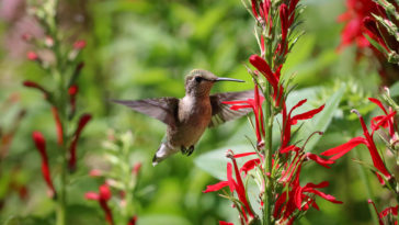 Ruby throated hummingbirds visits salvias
