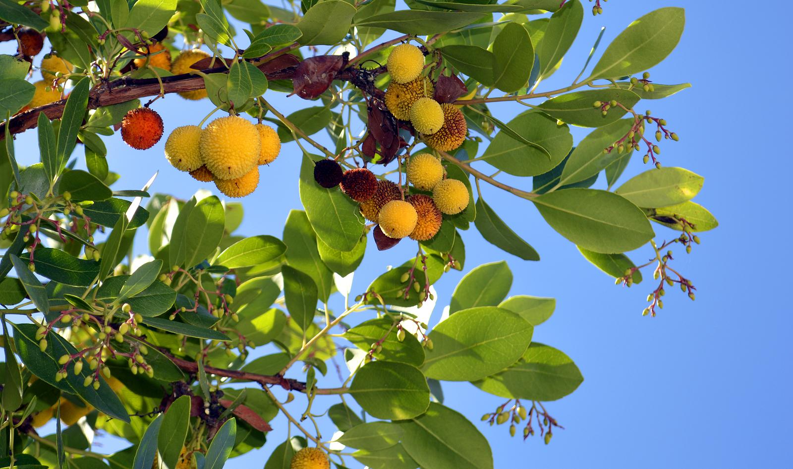 Strawberry tree arbutus
