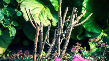 Spring pruned roses