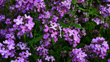 Wallflowers, Erysimum, thrive in cool-summer regions