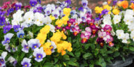 Viola plants