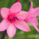 Watsonia barbonica